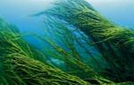 Отделы водорослей и их краткая характеристика — студенческий портал