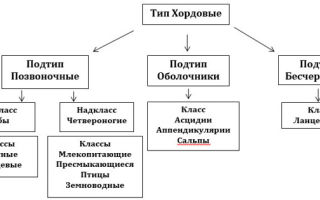 Тип хордовые. общая характеристика типа — студенческий портал