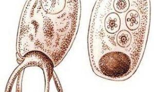 Строение и жизнедеятельность одноклеточных — клеточный центр и пищеварительная система