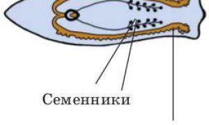 Строение плоских червей, процессы их жизнедеятельности — особенности размножения и развитие