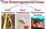 Тип кишечнополостные, или стрекающие: общая характеристика и отличительные черты