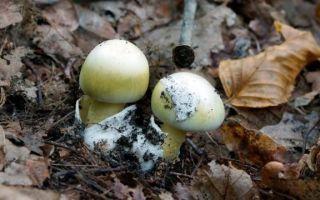 Съедобные и ядовитые шапочные грибы —  среда обитания и внешнее строение