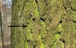 Краткая характеристика некоторых представителей зеленых водорослей