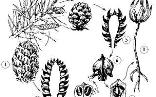 Высшие споровые растения — студенческий портал