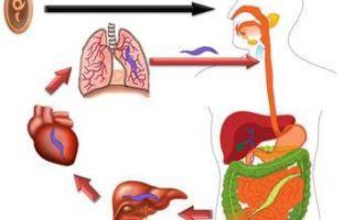 Разнообразие круглых червей — внешнее строение и особенности внутреннего расположения органов