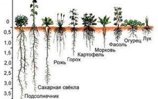 Рост и строение корня. типы корневых систем и их развитие — студенческий портал