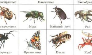 Тип членистоногие — ароморфозы и общая характеристика