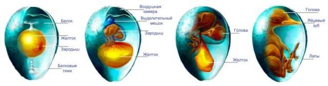 Размножение и развитие птиц - Студенческий портал