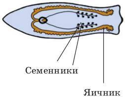 Строение плоских червей, процессы их жизнедеятельности - Студенческий портал
