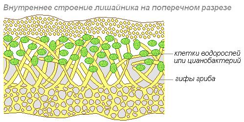 Лишайники. Особенности строения и размножения лишайников - Студенческий портал