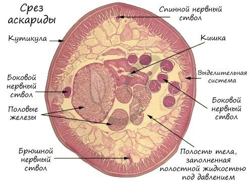 Тип Первичнополостные, или Круглые черви. Общая характеристика типа - Студенческий портал