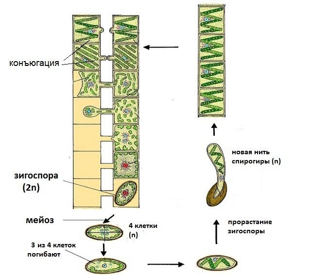 Низшие растения. Водоросли - Студенческий портал