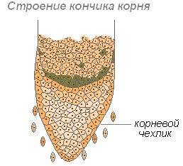 Рост и строение корня. Типы корневых систем и их развитие - Студенческий портал