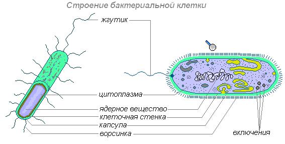 Внутреннее строение бактерий - Студенческий портал