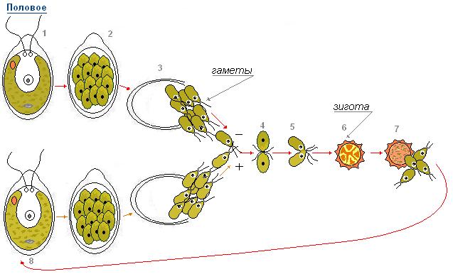 Отделы водорослей и их краткая характеристика - Студенческий портал