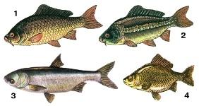 Значение костистых рыб в природе и жизни человека - Студенческий портал
