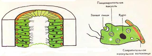 Значение кишечнополостных в природе и жизни человека - Студенческий портал