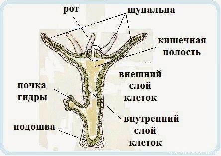 Характерные черты многоклеточных животных - Студенческий портал