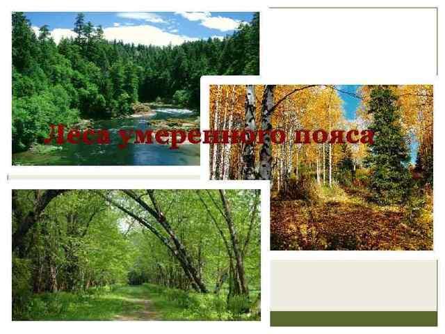Леса умеренного пояса - Студенческий портал