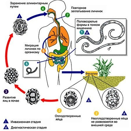 Заболевания, вызванные паразитическими плоскими червями - Студенческий портал