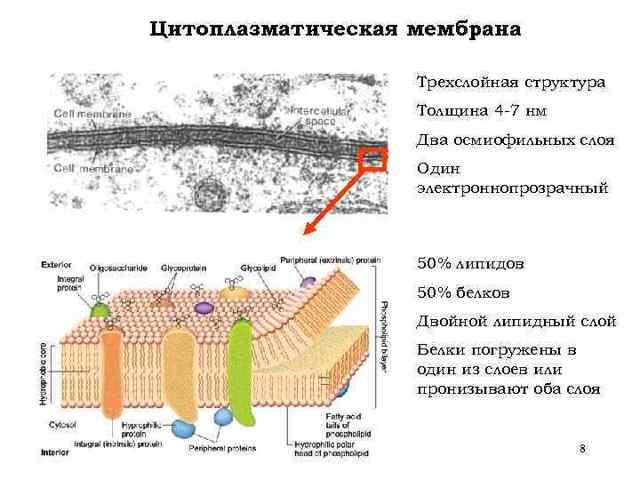 Поверхностные структуры бактериальной клетки - Студенческий портал