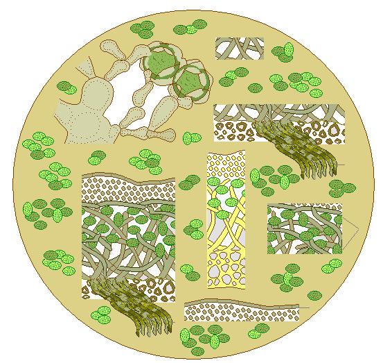 Значение лишайников - Студенческий портал