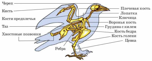 Строение и процессы жизнедеятельности птиц - Студенческий портал