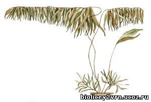 Особенности строения, процессов жизнедеятельности и распространение водорослей - Студенческий портал