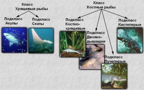 Класс Хрящевые рыбы. Общая характеристика класса - Студенческий портал