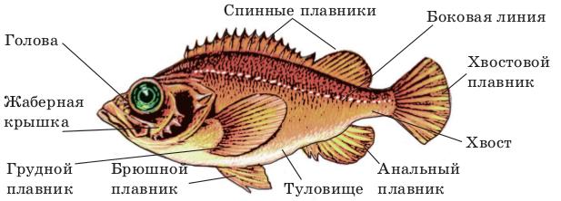 Разнообразие Хрящевых рыб - Студенческий портал