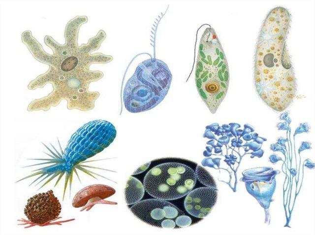 Разнообразие одноклеточных - Студенческий портал