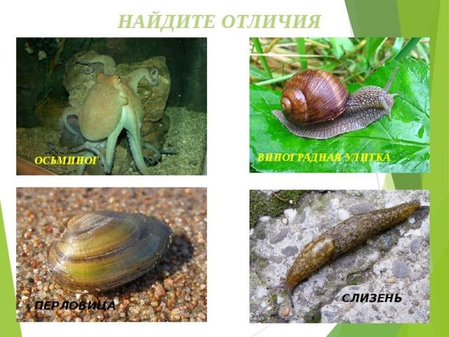 Строение и процессы жизнедеятельности моллюсков - Студенческий портал