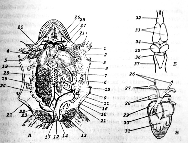 Класс Земноводные, или Амфибии. Общая характеристика класса - Студенческий портал