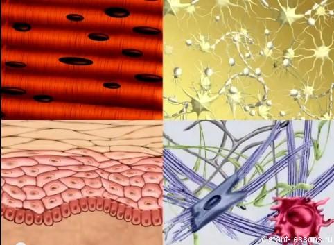 Ткани животного организма - Студенческий портал