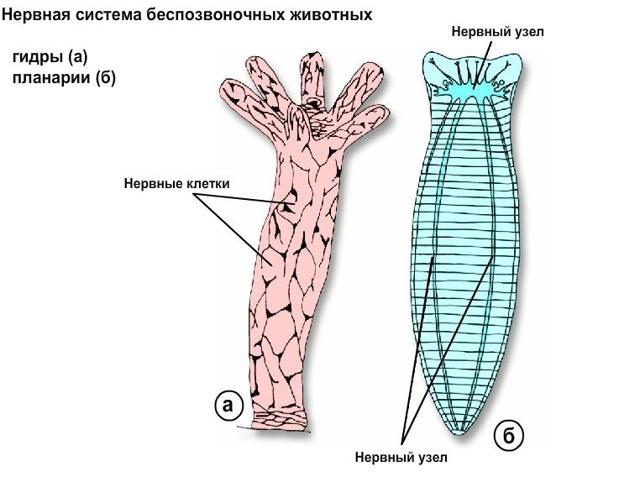 Системы органов животных - Студенческий портал