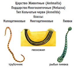 Тип Кольчатые черви. Общая характеристика типа - Студенческий портал