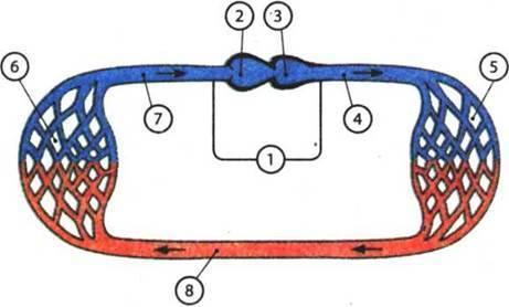 Строение и процессы жизнедеятельности хрящевых рыб - Студенческий портал