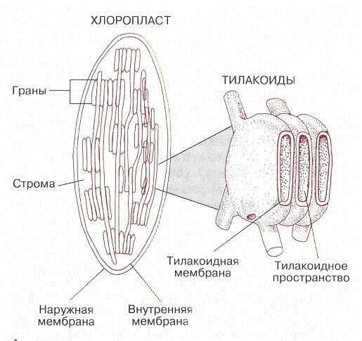 Строение и жизнедеятельность одноклеточных - Студенческий портал