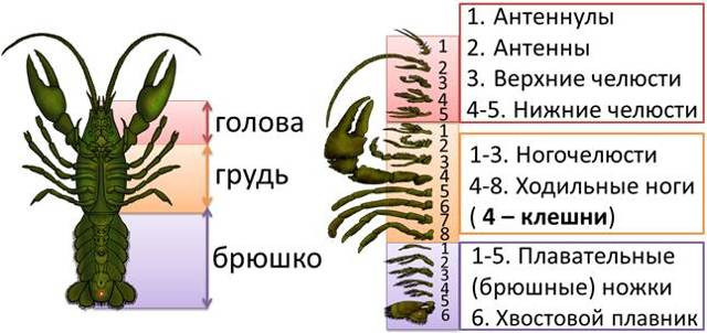 Класс Ракообразные. Строение и процессы жизнедеятельности ракообразных - Студенческий портал