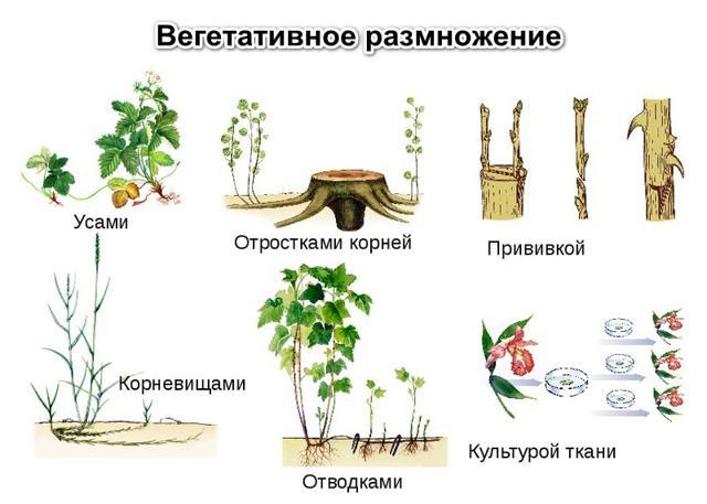 Способы вегетативного размножения растений в сельском хозяйстве - Студенческий портал