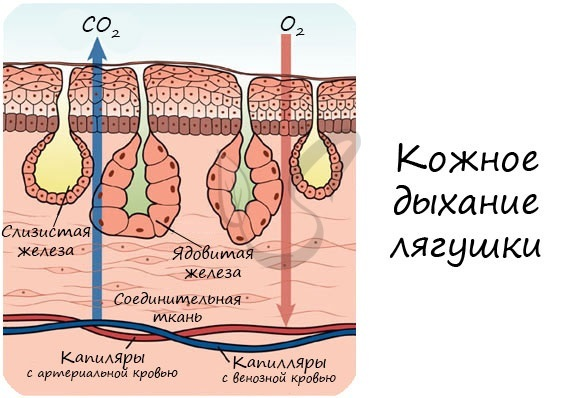 Строение и процессы жизнедеятельности земноводных - Студенческий портал