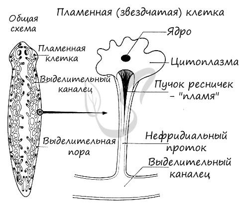 Разнообразие плоских червей - Студенческий портал