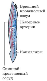 Класс Головохордовые, или Ланцетники. Значение Ланцетника - Студенческий портал