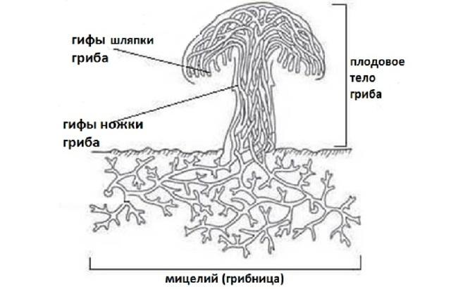 Съедобные и ядовитые шапочные грибы - Студенческий портал