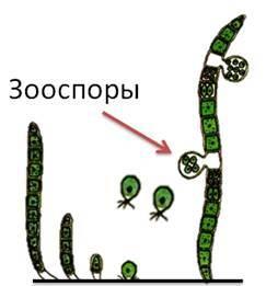 Высшие споровые растения - Студенческий портал