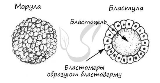 Индивидуальное развитие животного организма - Студенческий портал
