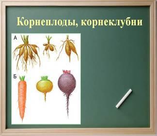 Функции корней. Видоизменения (метморфозы) корней - Студенческий портал
