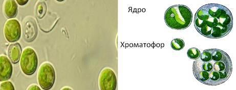 Значение водорослей - Студенческий портал