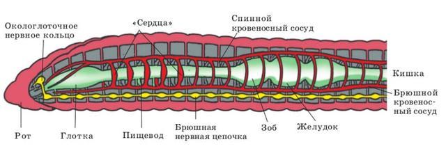 Строение и процессы жизнедеятельности кольчатых червей - Студенческий портал