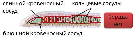 Разнообразие кольчатых червей - Студенческий портал